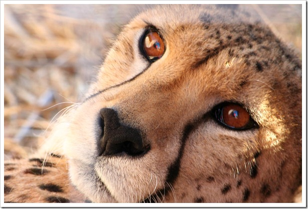 Cheetah Close-Up (c) Greg Pillhofer, 2009