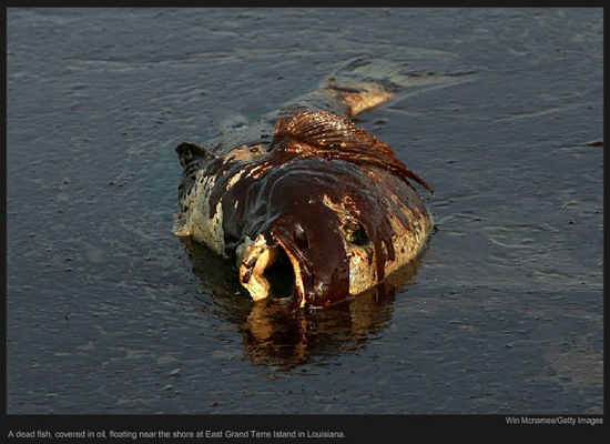A dead fish, covered in oil, floating near the shore at East Grand Terre Island in Louisiana (c) Win Mcnamee/Getty Images