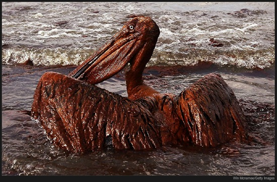 A large pelican, covered in oil, struggles in the surf at East Grand Terre Island in Louisiana (c) Win Mcnamee/Getty Images