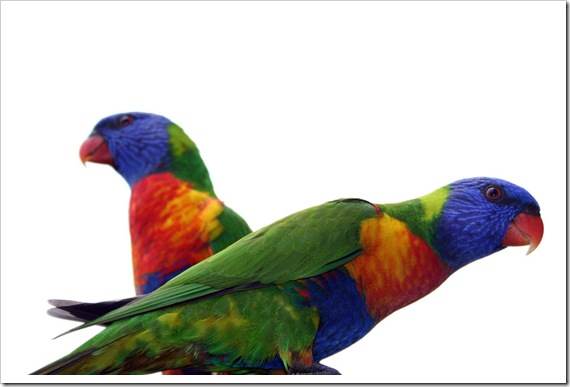 Rainbow Lorikeets in Australia (c) Greg Pillhofer, 2010