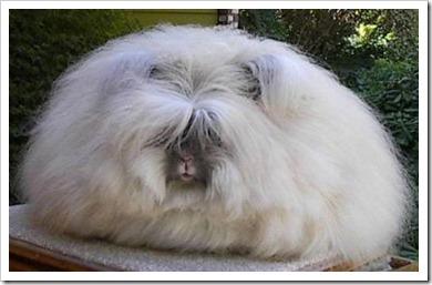 Angorra Rabbit