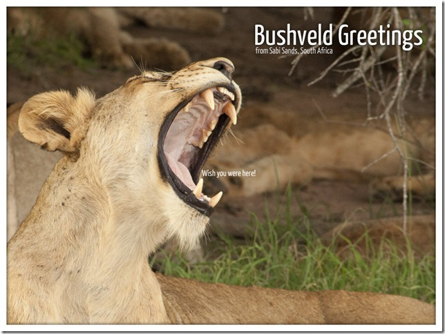Bushveld Greetings 2 - Lion (c) 2011, Greg Pillhofer & The BlaBla Blog